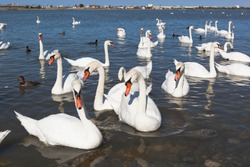 Swans close-up on the Sasyk-Sivash lake in the city of Evpatoria, Crimea, Russia