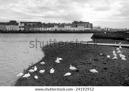 Swans - coastal part of town Gallway in west Ireland in behind - stock photo