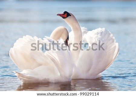 swans dancing on water