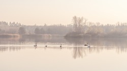 Swans, graceful birds on the water surface of the lake