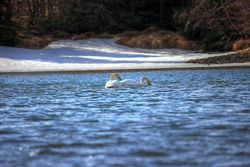 Swans in a lake in Iceland at springtime