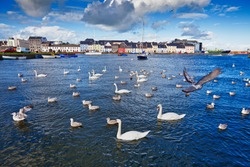 Swans in Galway Bay in front of old Galway Town and it's pastel buildings.