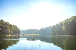 Swans in the nature scene of lake and pine tree forest at Pang Tong reservoir (Pang Ung), Mae Hong Son, Thailand