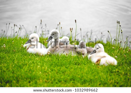 Swans offspring resting in the meadow on Lake Constance, Austria #1032989662