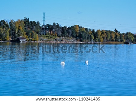 Swans on an autumn pond in the suburb of Helsinki