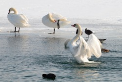 Swans on frozen lake