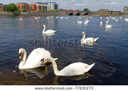 Swans on Shannon river in Limerick