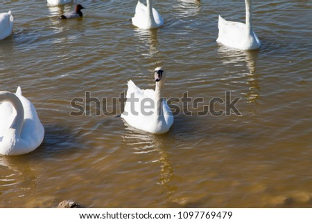 Swans on the lake swim in search of food #1097769479