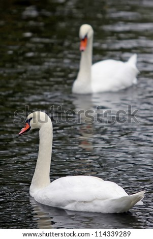 Swans on the lake with black water background