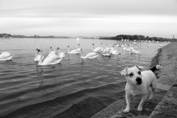 swans on the riverbank looking for food and a dog jack russell terrier  standing on the steps descending into the river, black and white photo