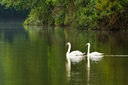 Swans pair. Swimming in the lake. Pang Ung park. Thailand