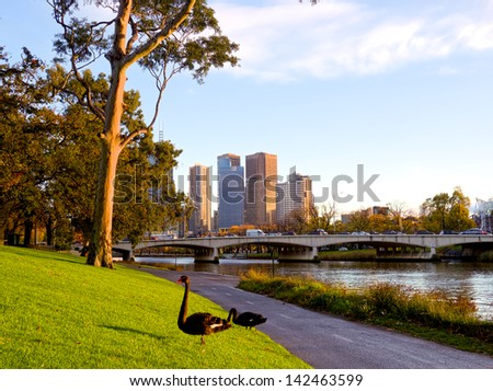 Swans standing beside the Yarra river in Melbourne