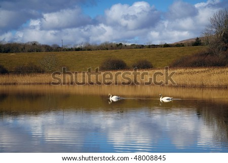 swans swim peacefully in sheltered area of Bantry Bay, near Bantry Town, Southern Ireland