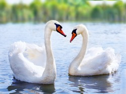 swans swimming on the water in nature