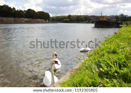 Swans swimming on Vistula River near Bulwar Wolynski in Krakow, Poland. Zdjęcia stock ©