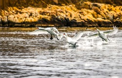 Swans take off from the water