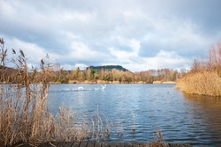 Swans taking off from the lake near ornithology center Biodiversum in the nature reserve Haff Reimech near Schengen, Luxembourg. Nature and bird protection concept.