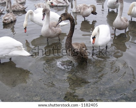 Swans together,with oily swan