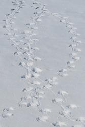Swans' tracks on snow