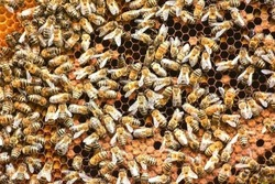 swarm of africanized honey bees working on a honeycomb wax