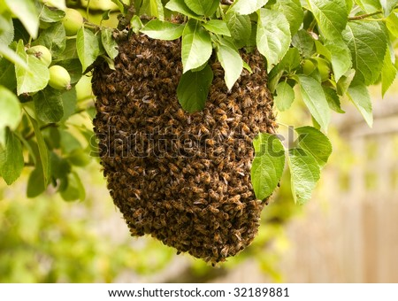 Swarm of bees visiting an apple tree in their thousands