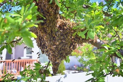 Swarm of Honey Bees, a eusocial flying insect within the genus Apis mellifera of the bee clade. Swarming Carniolan Italian honeybee on a plum tree branch in early spring in Utah. Formation of a new co
