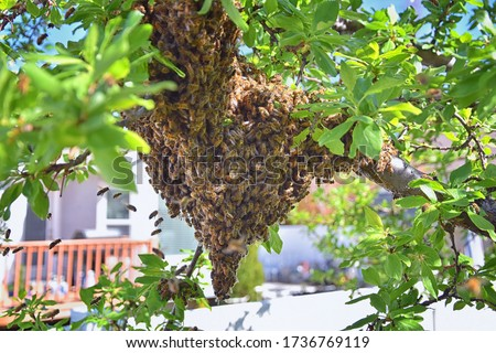 Swarm of Honey Bees, a eusocial flying insect within the genus Apis mellifera of the bee clade. Swarming Carniolan Italian honeybee on a plum tree branch in early spring in Utah. Formation of a new co Stock photo ©