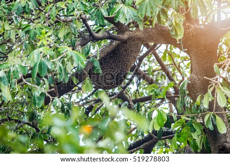 swarm of many bees help build honeycomb on the tree Nature in Thailand