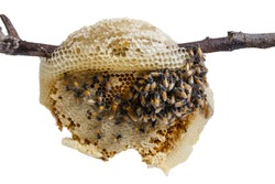 swarm of many bees on a tree branch help build honeycomb on white background