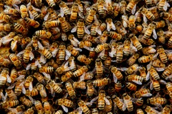 Swarming bee colony congregating around their queen