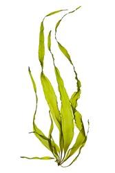 swaying kelp seaweed isolated on white background.