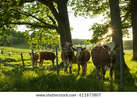 Sweden Scandinavia. Beautiful nature and landscape photo of cows standing outdoors in summer evening at sunset. Warm colorful picture with green grass and trees. Lovely animals outside in the sun. #611873807