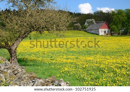 Swedish field of dandelions