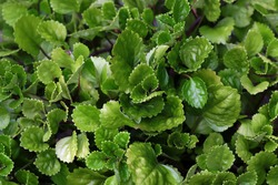 Swedish Ivy - a kind of ground cover plant