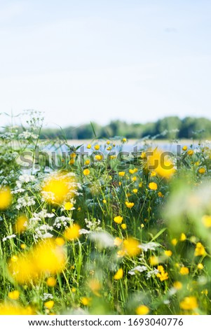 Swedish summer meadow by lake. Buttercups and cow parsley. Scandinavian midsummer. Foto stock ©