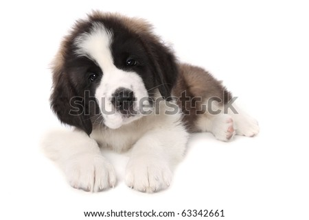 Sweet Adorable Saint Bernard Puppy Lying Down on White Background