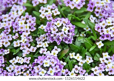 Sweet Alyssum, Alyssum is a genus of about many species of flowering plants in the family Brassicaceae, native to Europe, Asia, and northern Africa. This image was blurred or selective focus.