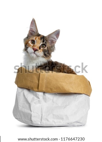 0da00767c7 Sweet and bold tortie Maine Coon cat kitten girlsitting side ways in paper  bag