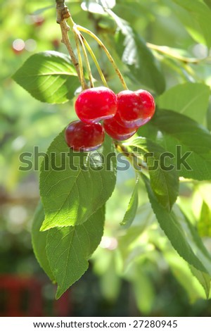 Sweet and juicily cherries on a tree - stock photo