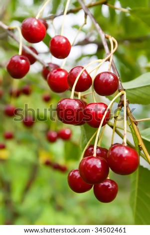 Sweet and juicily fresh cherries on a tree