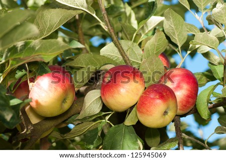 Sweet and Tart Akane Apples Growing on the Tree,  Ripe and Ready to Pick and Eat Uncooked, Drink as Cider, or Cook in Recipes