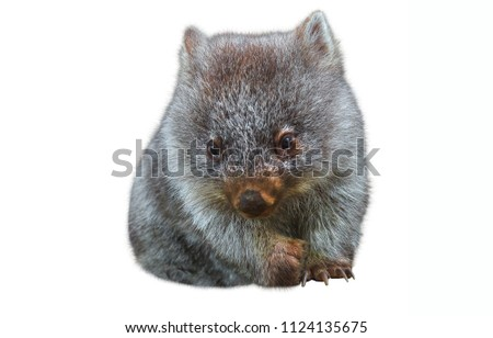 Sweet and tender little australian wombat in position marsupial. Isolated on white background. The Wombat is a crepuscular and nocturnal marsupial.