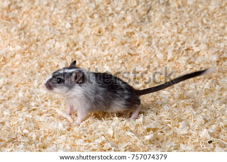 sweet animal baby mongolian gerbil as a pet
