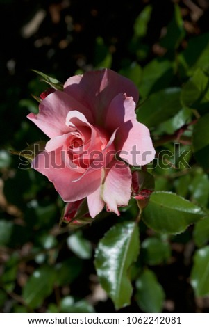 Sweet as a Spanish Rose #1062242081
