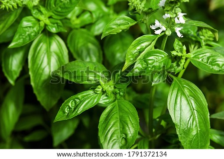 Sweet Basil green plants with flowers growing Foto d'archivio ©