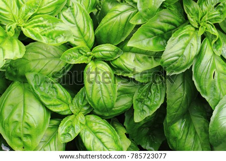 sweet basil leaves as nice natural food background Foto d'archivio ©
