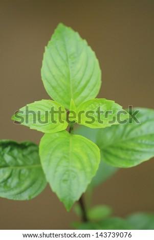 Sweet basil leaves (Ocimum basilicum Linn.)