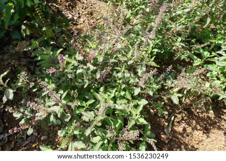 Sweet Basil (Ocimum basilicum). Used in aromatherapy and as a remedy for coughs. Also used in ancient Egypt for embalming mummies. It is a symbol of mourning and hostility for the Greeks and Romans.