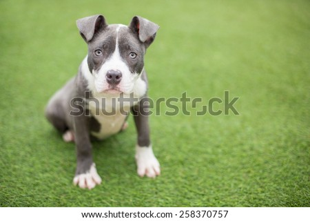 Sweet blue and white pit bull puppy with floppy ears sits outside