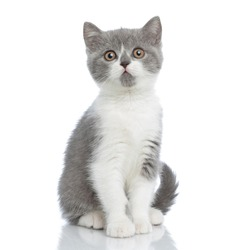 sweet british shorthair cat looking at the camera with big intimidating eyes and sitting against white background